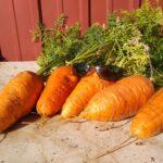 happy fat carrots