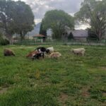 goats and sheep grazing in pasture